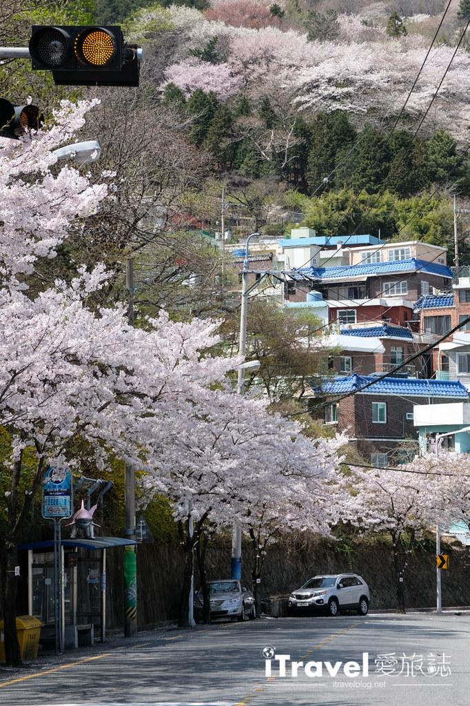 釜山賞櫻景點 東大新洞望洋路 (53)