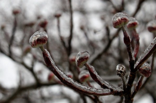 2019 WEEK 8: Trees - Dogwood Buds in Ice