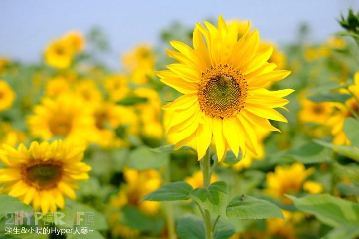 46511543874 d6d1c7c38f c - 大雅小麥文化節2019   今年融入愛情元素好浪漫,金黃色小麥田加上大片向日葵花海真是讓人放鬆療癒啊~