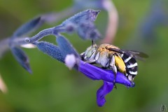 Blue Banded bee @ Burnley Gardens