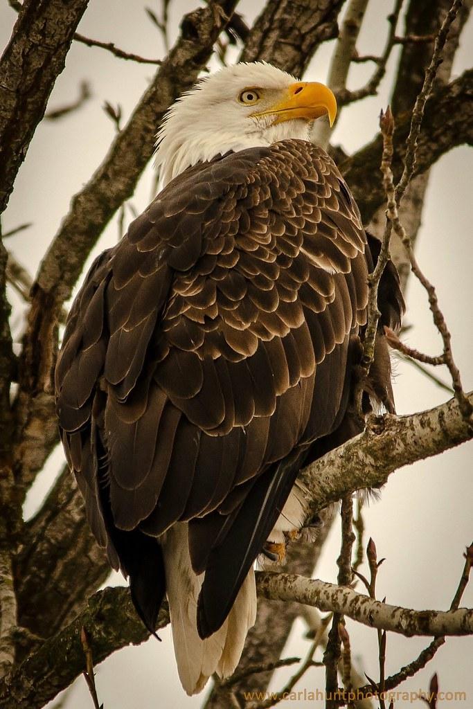 Bald Eagle, Armstrong, BC