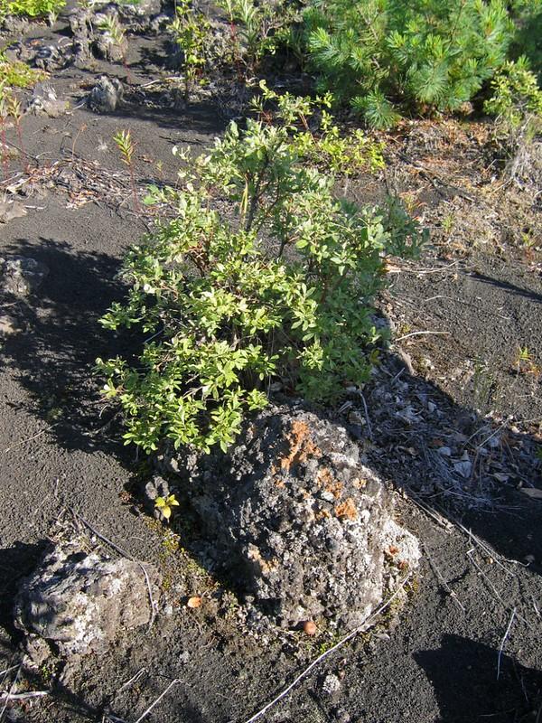 Ивовый стланик и вулканическая бомба