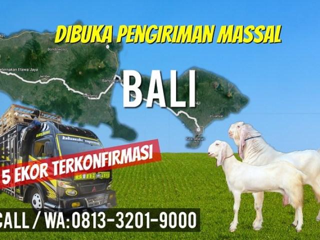 pengiriman kambing etawa bali