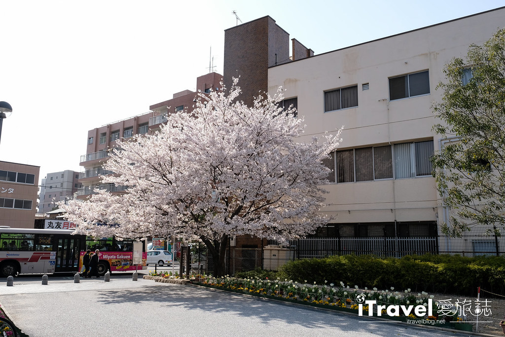 福岡賞櫻景點 美野島公園、東領公園 (32)