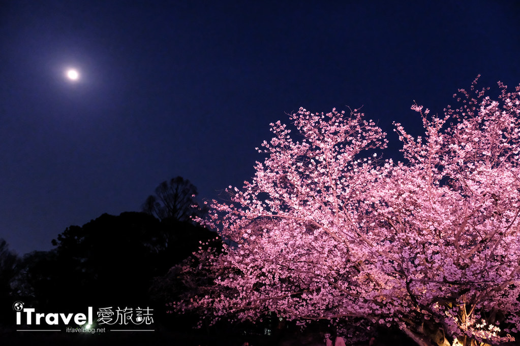 賞櫻景點 福岡城夜櫻 (50)