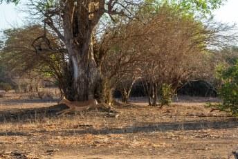 We waren nog niet in het park aangekomen of de impala's vlogen ons alweer om de oren.