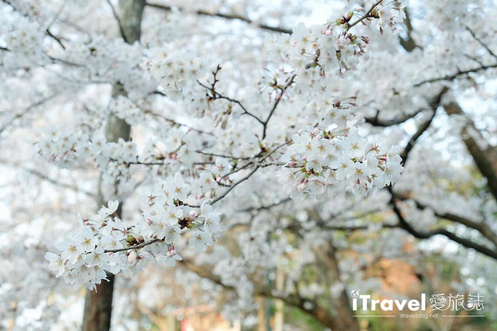 福岡賞櫻景點 西公園Nishi Park (52)
