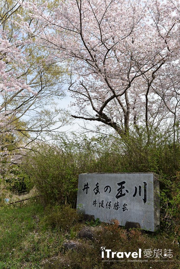京都賞櫻景點 井手町玉川堤 (4)