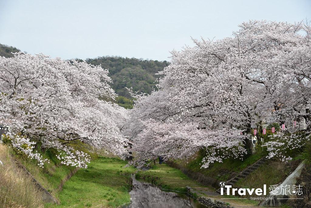 京都赏樱景点 井手町玉川堤 (43)