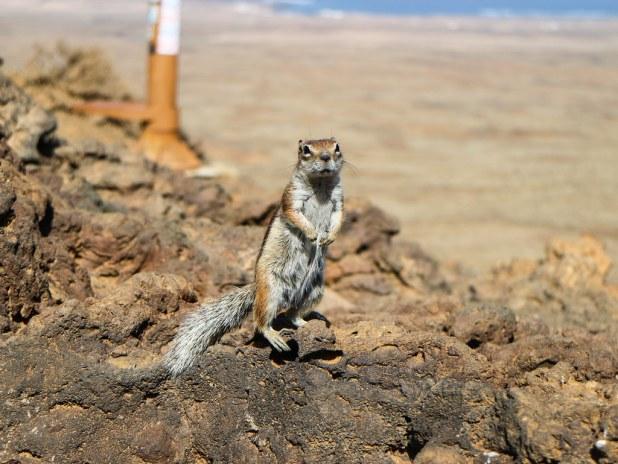 Ardilla moruna en Fuerteventura