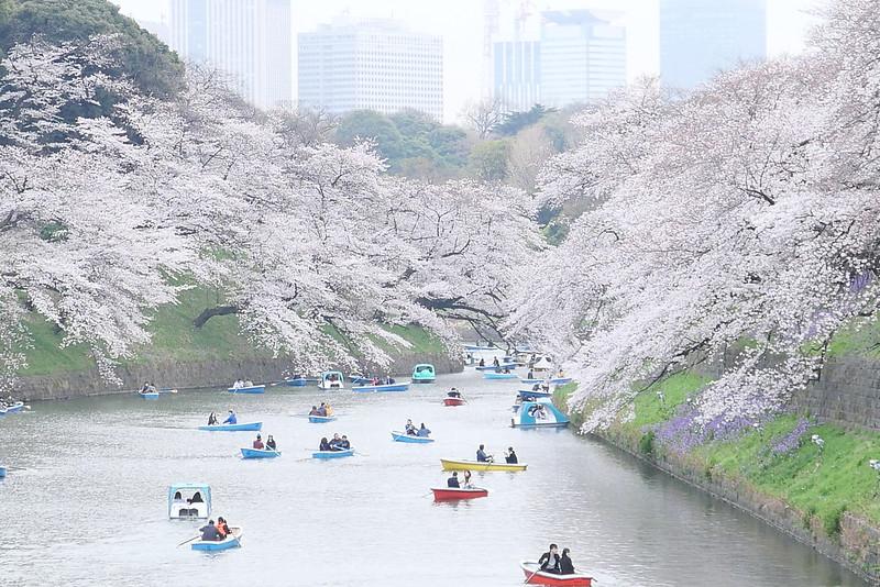 Sakura in full bloom at Chidorigafuchi, Tokyo 04