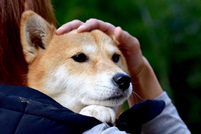 怪我をしたので動物病院へ向かう犬