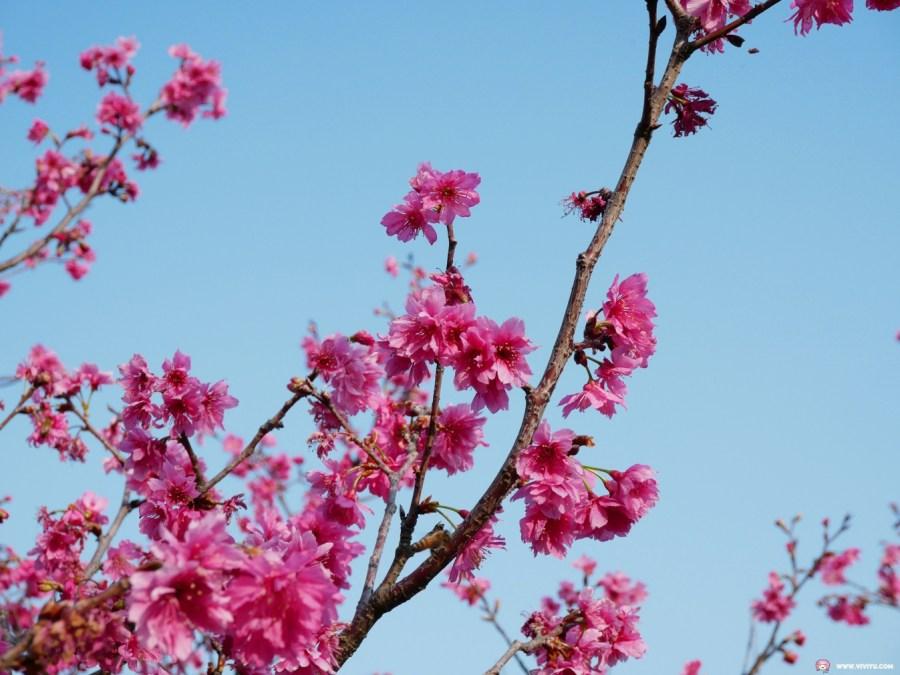 [台中旅遊]崴立機電櫻花公園 后里交流道附近中科賞櫻景點~滿滿八重櫻綠萼櫻花海綻放盛開中 @VIVIYU小世界