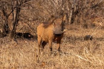 Ook de knobbelzwijnen (Phacochoerus africanus) waren in overvloed aanwezig.