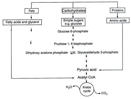 Plus One Botany Notes Chapter 10 Respiration in Plants 10