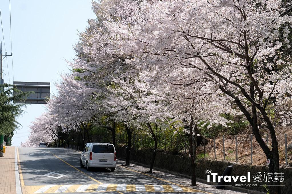 釜山賞櫻景點 東大新洞望洋路 (50)