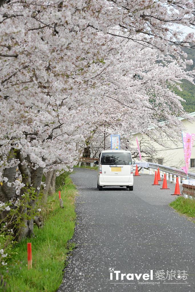京都赏樱景点 井手町玉川堤 (31)