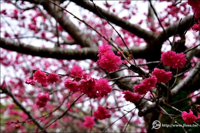 南投鳳鳴派出所櫻花