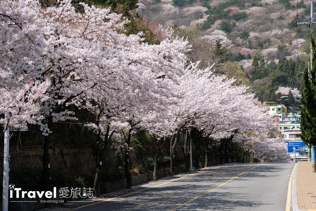 釜山賞櫻景點 東大新洞望洋路 (65)