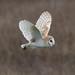 Barn Owl Parkgate 230319a
