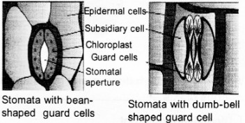 Plus One Botany Notes Chapter 4 Anatomy of Flowering Plants 13