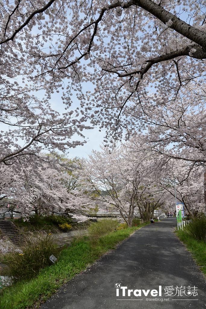 京都赏樱景点 井手町玉川堤 (25)