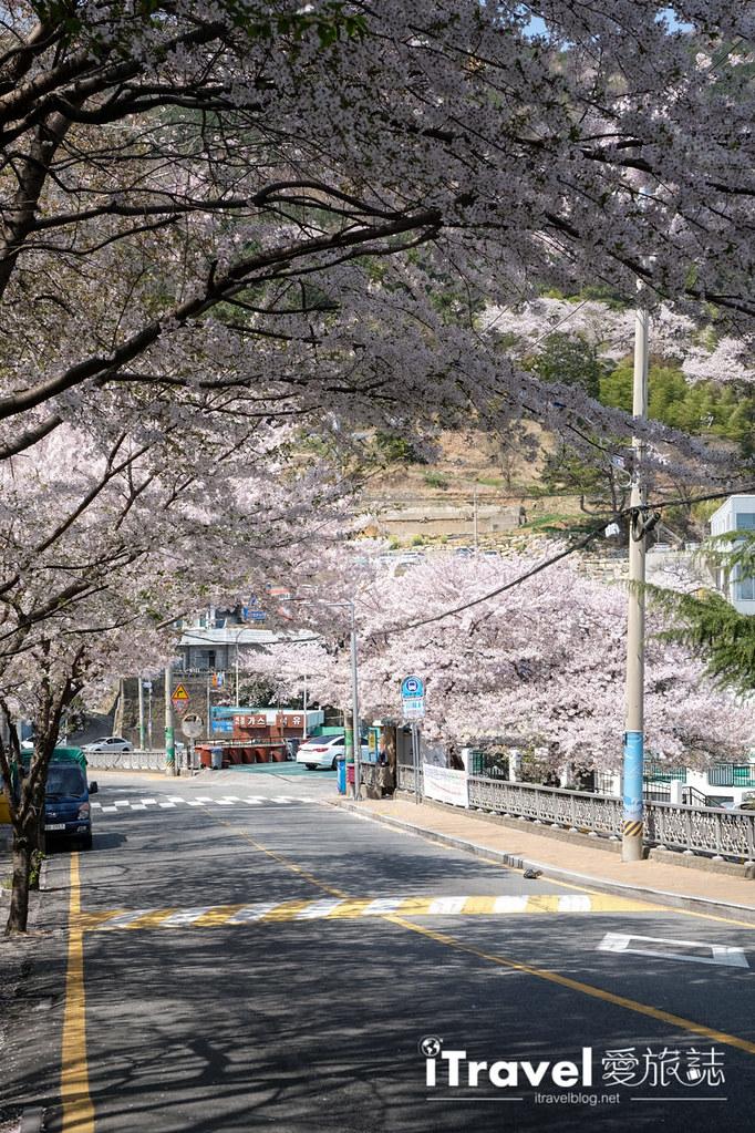 釜山賞櫻景點 東大新洞望洋路 (59)