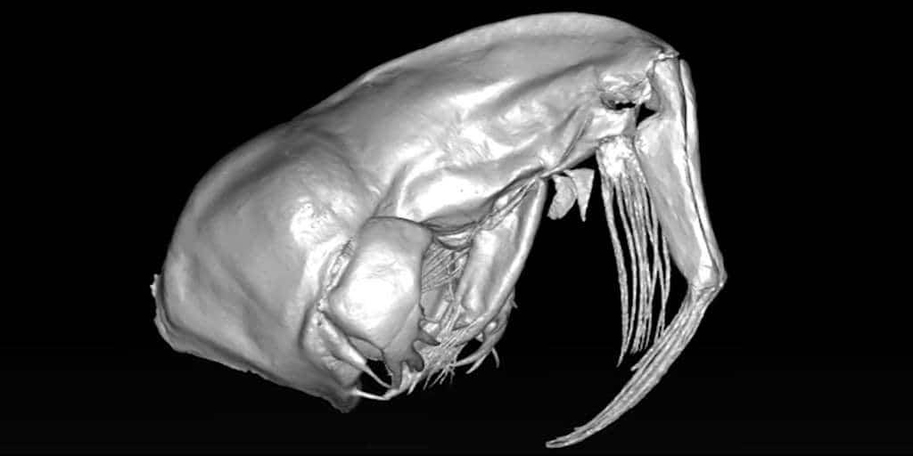 larve-de- moucherons-fantômes