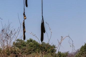 Dit is de vrucht van de Kigelia boom, ook wel suasage tree of worsboom. Je kunt de vruchten alleen niet eten.