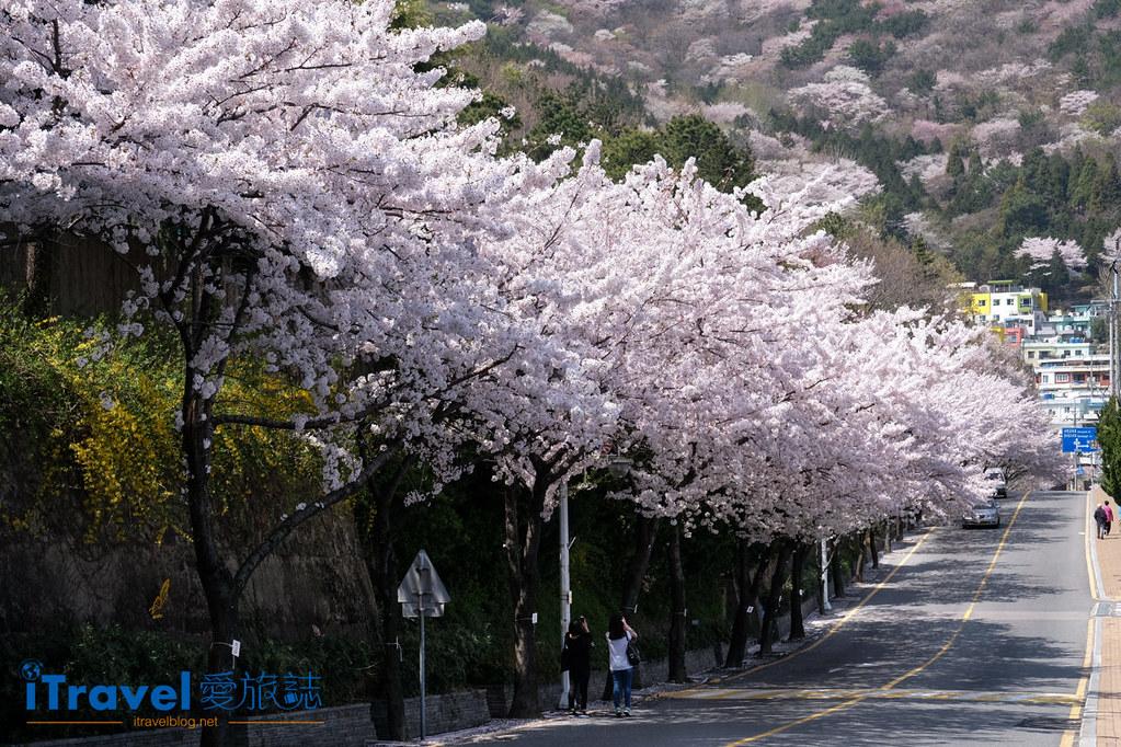 釜山賞櫻景點 東大新洞望洋路 (1)