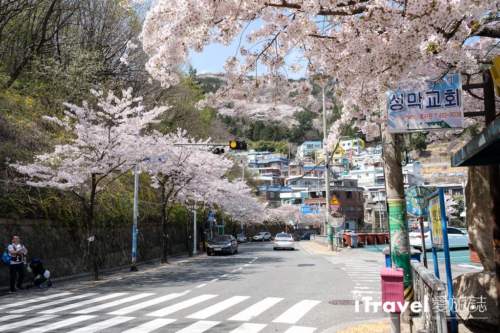 釜山賞櫻景點 東大新洞望洋路 (52)