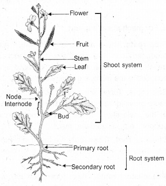 Plus One Botany Notes Chapter 3 Morphology of Flowering