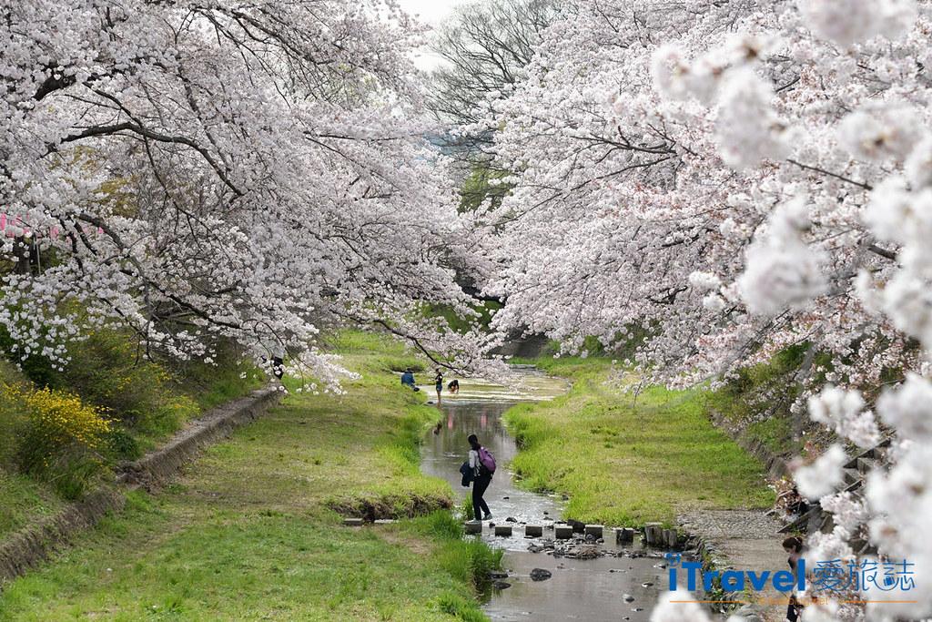 京都賞櫻景點 井手町玉川堤 (1)