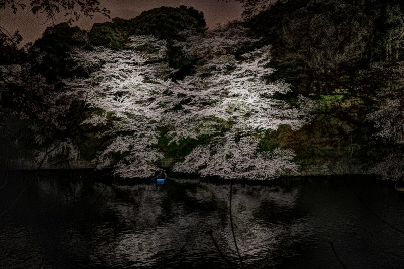 Sakura in full bloom at Chidorigafuchi, Tokyo 39