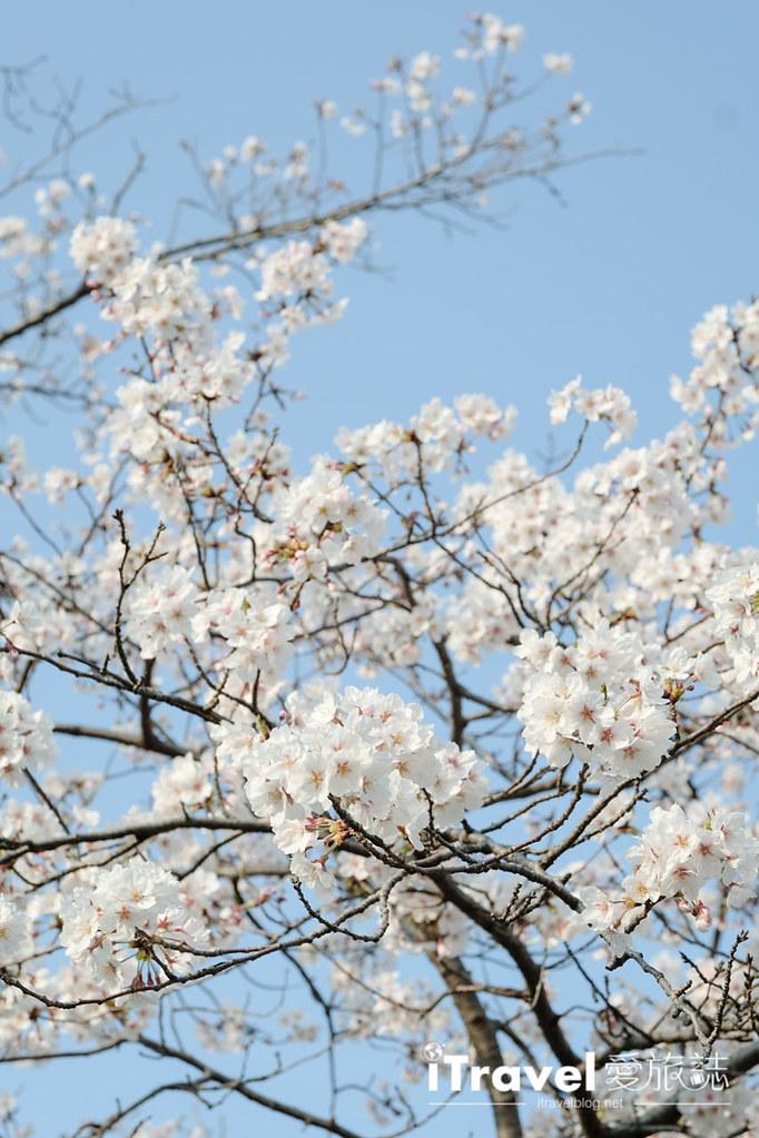 福岡賞櫻景點 西公園Nishi Park (24)