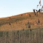 Deer who can't read warning signs dining on landfill