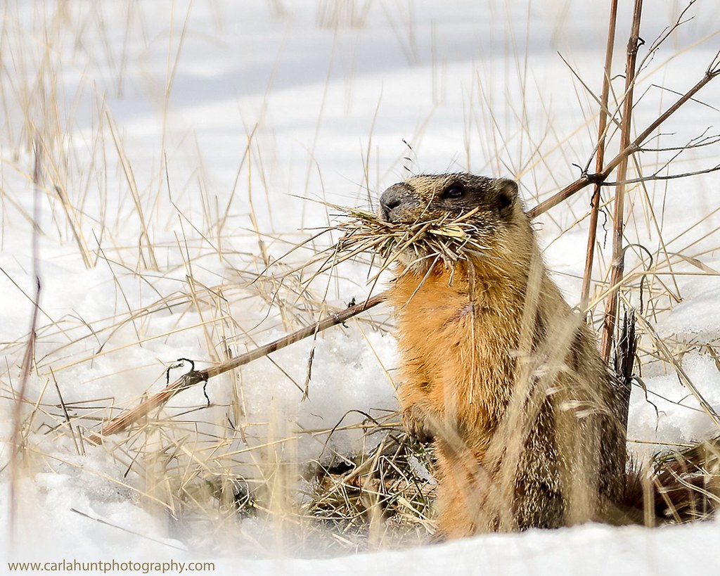 A sure sign Spring is coming. I saw a marmot today! :grinning: Vernon, BC