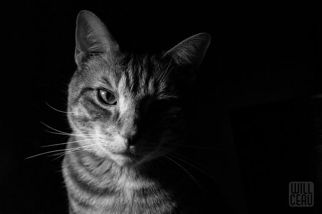 Chiaroscuro Cat