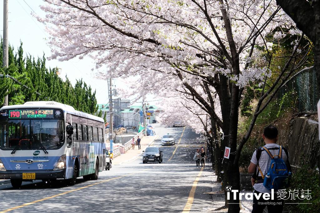 釜山賞櫻景點 東大新洞望洋路 (63)