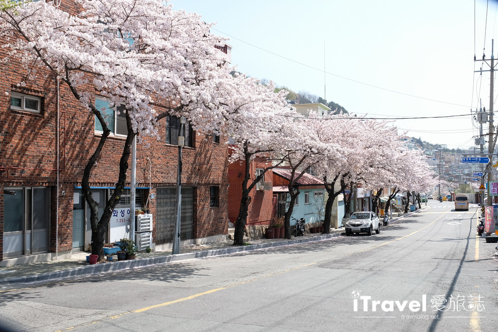 釜山賞櫻景點 東大新洞望洋路 (3)