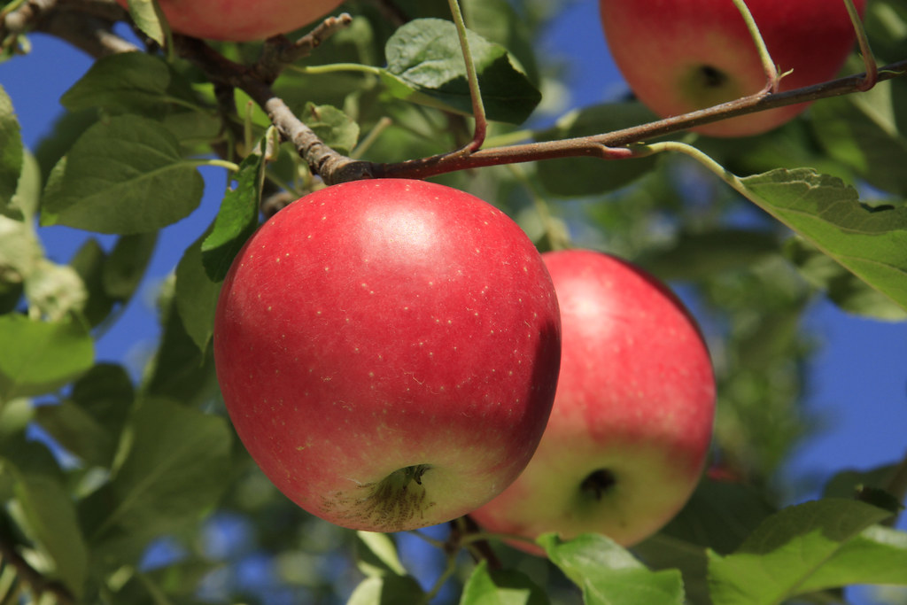 81 Shinano Piccolo Apples