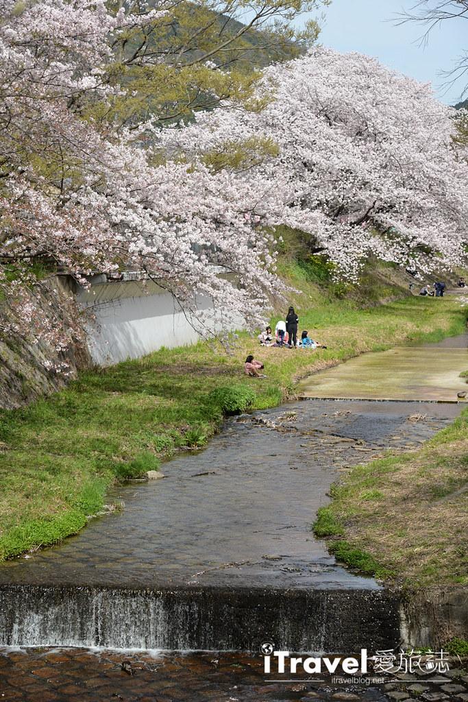 京都賞櫻景點 井手町玉川堤 (9)