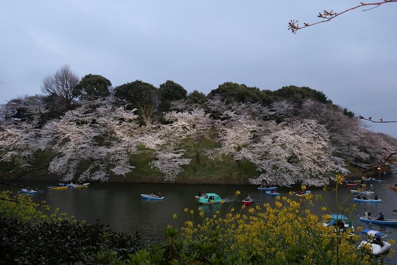 Sakura in full bloom at Chidorigafuchi, Tokyo 14