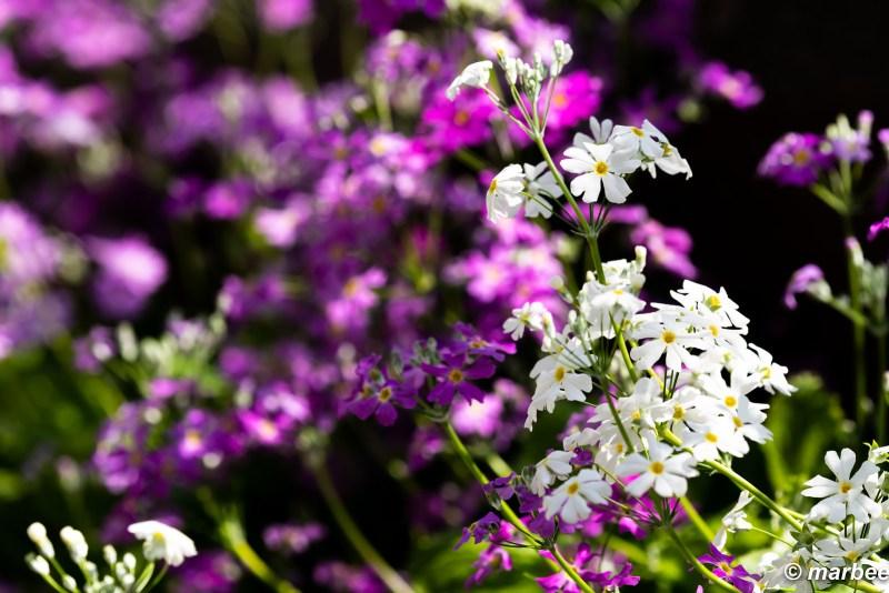 Primrose bloomed