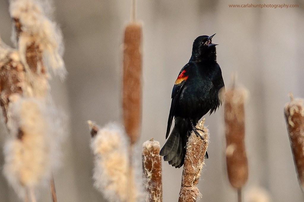 Red-winged blackbird, Spallumcheen, BC
