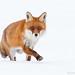 Vixen in the snow