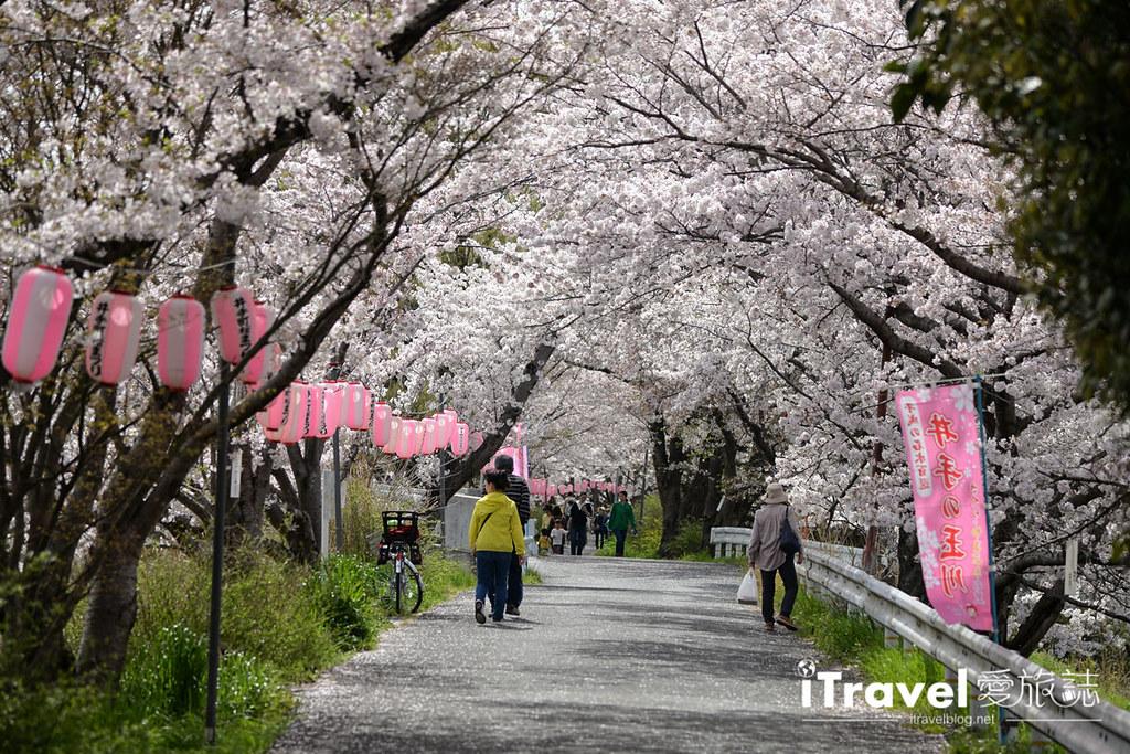 京都赏樱景点 井手町玉川堤 (5)