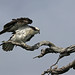 Osprey with ruffled and fluffed up feathers