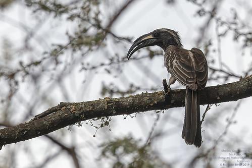 African Grey Hornbill (Tockus nasutus) Lake Manyara National Park, Tanzania 2019