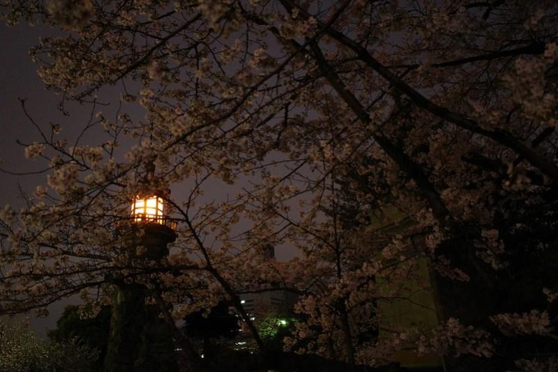 Sakura in full bloom at Chidorigafuchi, Tokyo 35